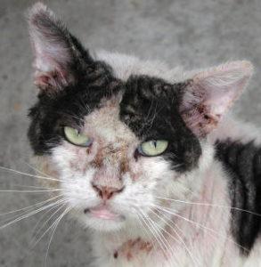 демодекоз у котов и кошек